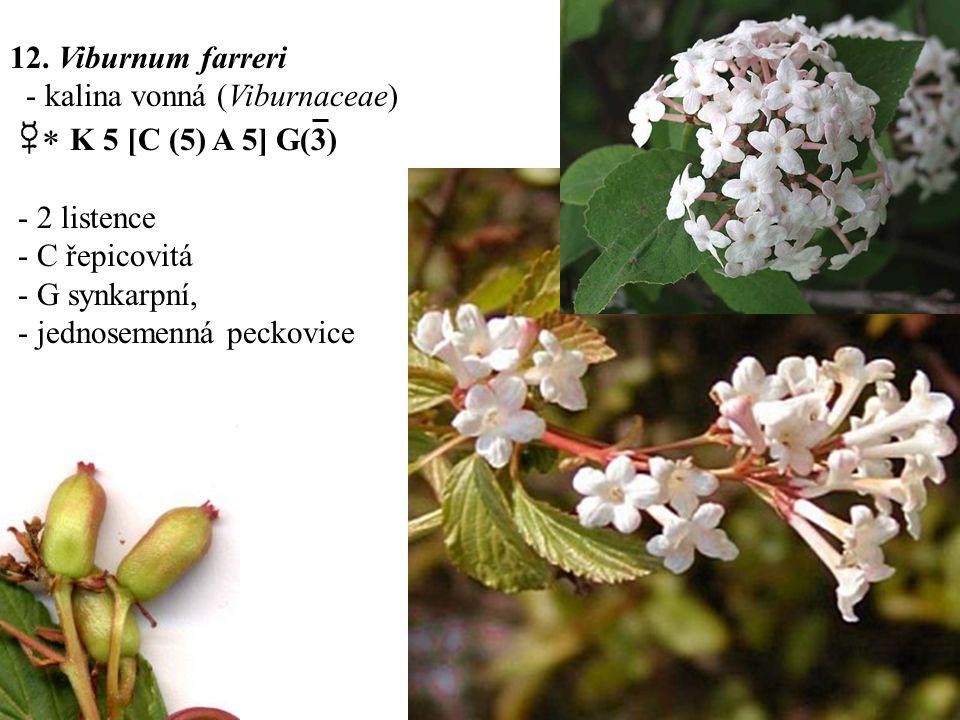 12. Viburnum farreri - kalina vonná (Viburnaceae)  K 5 [C (5) A 5] G(3) - 2 listence. - C řepicovitá.